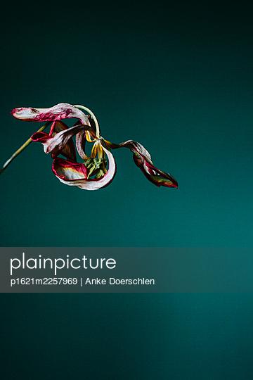 Tulip - p1621m2257969 by Anke Doerschlen