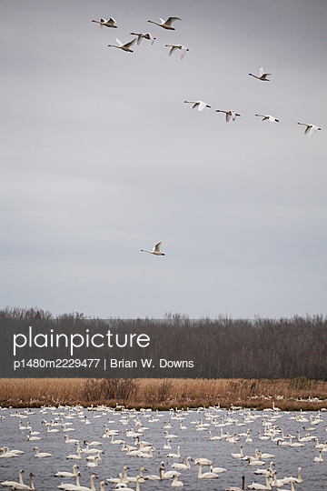 Tundra Swan Takeoff above impoundment - p1480m2229477 by Brian W. Downs