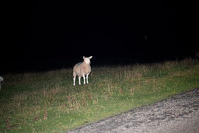 Sheep at night - p1631m2260171 by Raphaël Lorand