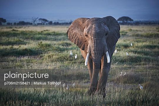 Single elephant, Kenya - p706m2158421 by Markus Tollhopf