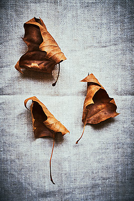 Three withered autumn leaves - p968m2020207 by roberto pastrovicchio