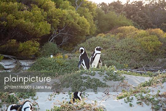 Pinguine in Südafrika - p712m1160001 von Jana Kay