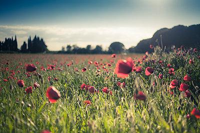 Poppies - p1290m1111027 by Fabien Courtitarat