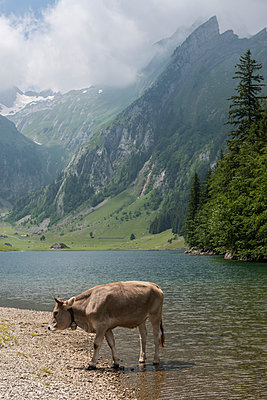 Cow in the Alps - p282m953207 by Holger Salach