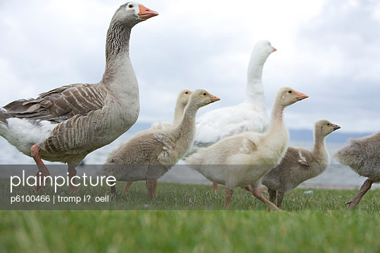 Gaggle of geese - p6100466 by Marcel Tromp