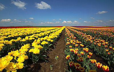 Field with tulips - p162m925849 by Beate Bussenius