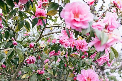 Rosen in voller Pracht - p586m1109849 von Kniel Synnatzschke