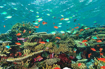 Colorful fish swimming in coral reef - p429m768027 by Stuart Westmorland