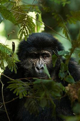 A gorilla Uganda - p5751642f by Fredrik Schlyter