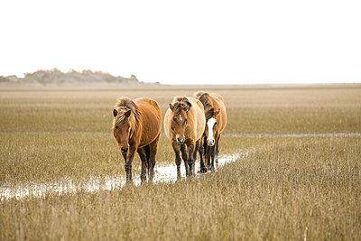 Wild Horses along the Outer Banks of North Carolina. - p1166m2130861 by Cavan Images