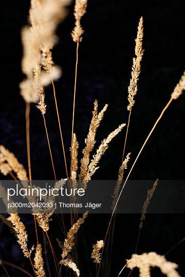 Grasses against black background - p300m2042093 von Thomas Jäger