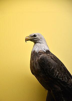 Ausgestopfter Weißkopfseeadler - p1072m2164575 von Neville Mountford-Hoare