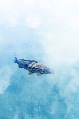 Carp in the pond - p1609m2253814 by Katrin Wolfmeier