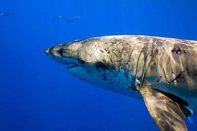 Great white shark (Carcharodon carcharias)   - p4427180f by Design Pics