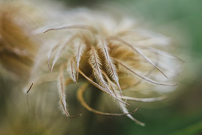 Close up of feathered dried flower bud of clematis plant - p1166m2071969 by Cavan Images
