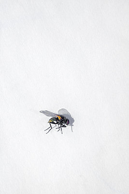 House fly - p1228m1461041 by Benjamin Harte