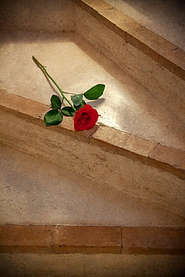 Rose on Polished Concrete Steps  - p1248m2109265 by miguel sobreira