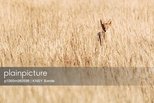 Ein Schakal in der Savanne, Kalahari, Afrika - p1065m982598 von KNSY Bande