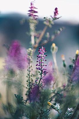 Purple flowers in Lleida - p300m1581122 by Oriol Castelló Arroyo