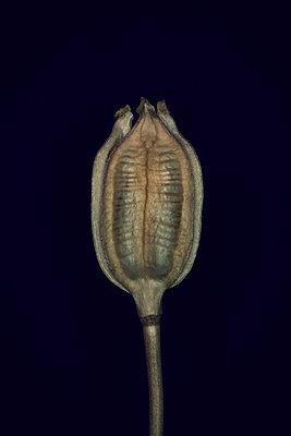 Schwertlilienkapsel - p1028m1040981 von Jean Marmeisse