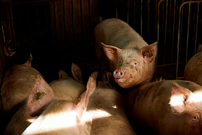 Pigs in animal pen on sunny day - p300m2250046 by Aitor Carrera Porté