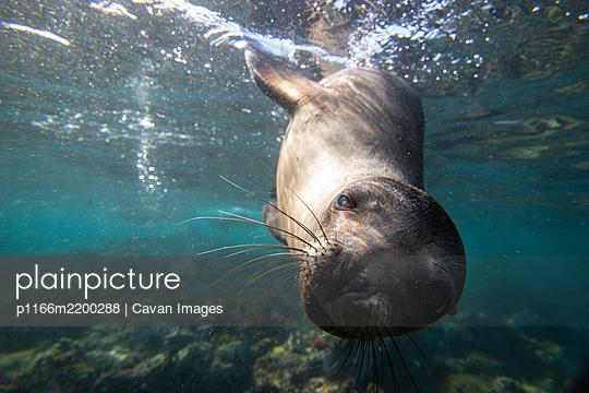 A sea lion gets close to the camera underwater in Espiritu Santo. - p1166m2200288 by Cavan Images