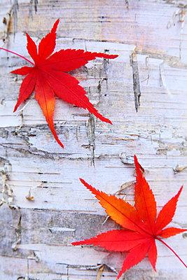 Autumn leaves - p307m974272f by Mamoru Muto