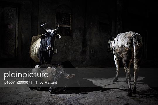 Three cows at night - p1007m2099071 by Tilby Vattard