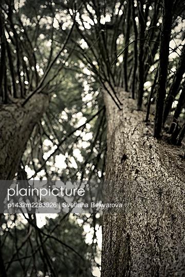 Sequoia - p1432m2283926 by Svetlana Bekyarova