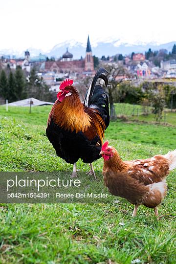 Hühner - p842m1564391 von Renée Del Missier