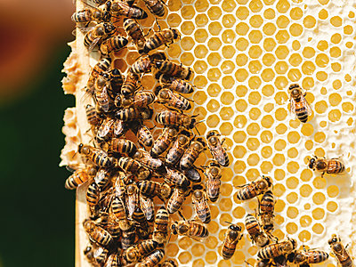 Beehives, Bees and Honey - p1335m2109594 by Daniel Cullen