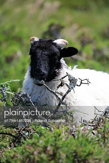 Schaf frisst Pflanzen - p179m1467235 von Roland Schneider