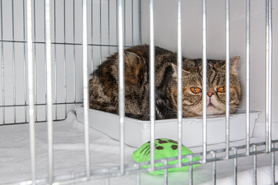 Cat in a cage at a cat show - p1057m1564466 by Stephen Shepherd