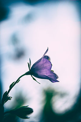 Campanula flower - p879m2230972 by nico