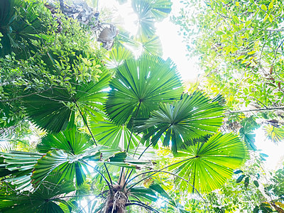 Lush foliage of Licuala grandis (Fan palm) - p1427m1504581 by WalkerPod Images