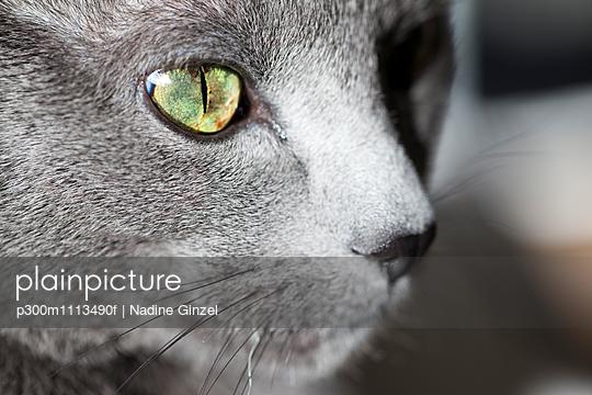 Face of grey cat, close-up