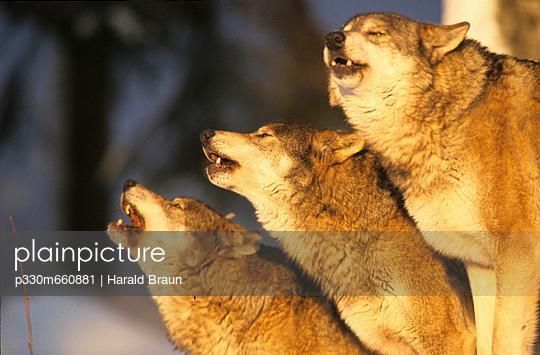 Heulende Wölfe - p330m660881 von Harald Braun