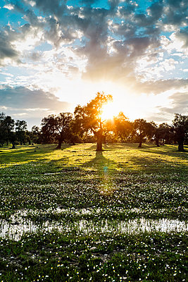 Olive tree in sunset - p1093m855393 by Sven Hagolani