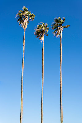 Palm trees - p1170m1590100 by Bjanka Kadic