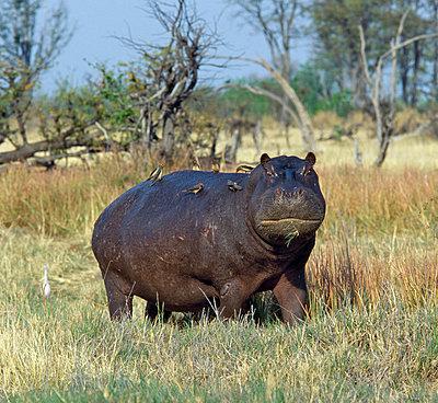 Botswana - p6520138 by Nigel Pavitt