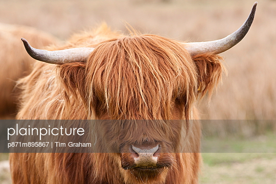 Brown shaggy coated Highland cow with curved horns on Bodmin Moor, Cornwall - p871m895867 by Tim Graham