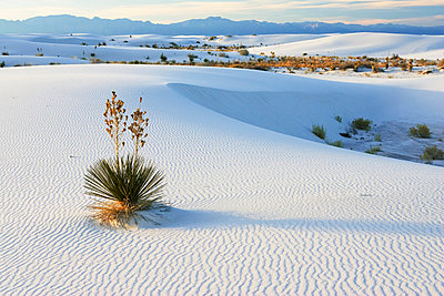 Soaptree Yucca growing in gypsum sand - p884m862690 by Konrad Wothe