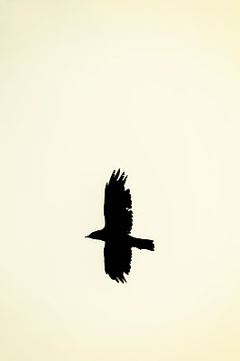 Single crow in flight against light sky - p1047m1159917 by Sally Mundy