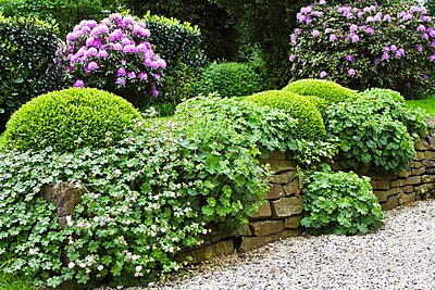A flowering garden with lady's mantle - p1183m997210 by Vedder, Catja
