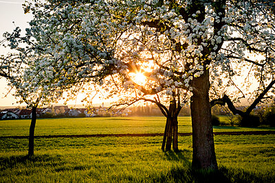 Germany, Baden-Wuerttemberg near Tuebingen, blossoming pear tree on a meadow with scattered fruit trees in the evening - p300m1023185f by Larissa Veronesi
