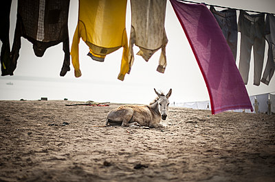 Donkey on the beach - p1007m1144328 by Tilby Vattard