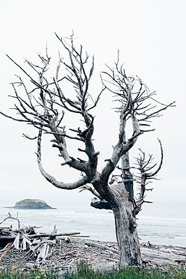 Lone Tree on Oregon Coast - p1262m1440878 by Maryanne Gobble