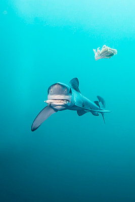 South Africa, Blue shark, Prionace glauca - p300m1028764f by Gerald Nowak