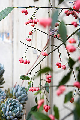 Autumn berries and leaves;  Isle of Wight;  UK - p349m920035 by Rachel Whiting