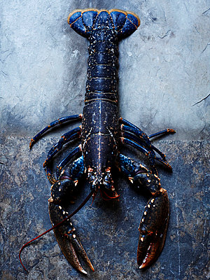 Blue Lobster - p938m754449 by Christina Holmes